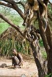 Hadzabe obygdsbo Royaltyfri Fotografi