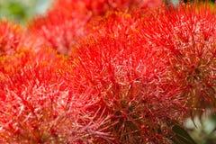 Haemanthus multiflorus花,属石蒜科 免版税库存照片