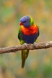 Haematodus Trichoglossus Lorikeets радуги, красочный попугай сидя на ветви, животное в среду обитания природы, Австралия Синь, Стоковое Фото