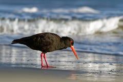Haematopus fuliginosus - Sooty Oystercatcher hunting. On the australian seaside stock images