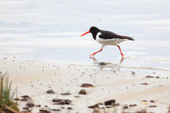 Haematopus ostralegus, Eurasian Oystercatcher Royalty Free Stock Photo