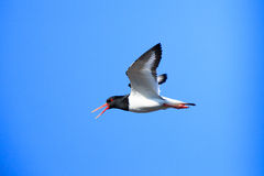 Haematopus ostralegus, Eurasian Oystercatcher Royalty Free Stock Photos