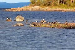 Haematopus ostralegus, eurasischer Austernfischer Stockfotografie