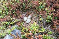 Haematopus ostralegus, Eurazjatycki Oystercatcher Jajka Zdjęcie Stock