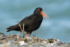 Haematopus unicolor - Variable oystercatcher - torea feeding on the seaside in New Zealand. Haematopus unicolor - Variable oystercatcher - torea feeding and royalty free stock image