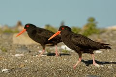 Haematopus unicolor - Variable oystercatcher - torea feeding on the seaside in New Zealand. Haematopus unicolor - Variable oystercatcher - torea feeding and stock photography