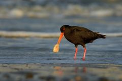 Haematopus unicolor - Variable oystercatcher - torea feeding with mussels on the seaside. In New Zealand royalty free stock images