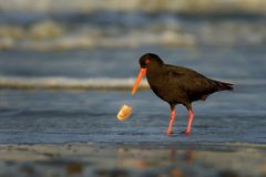 Haematopus unicolor - Variable oystercatcher - torea feeding with mussels on the seaside. In New Zealand royalty free stock photo