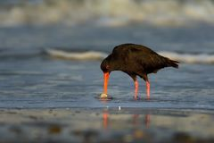 Haematopus unicolor - Variable oystercatcher - torea feeding with mussels on the seaside. In New Zealand stock image