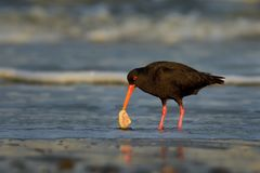 Haematopus unicolor - Variable oystercatcher - torea feeding with mussels on the seaside. In New Zealand stock images