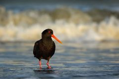 Haematopus unicolor - Variable oystercatcher - torea feeding with mussels on the seaside. In New Zealand stock photography