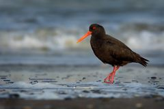 Haematopus unicolor - Variable oystercatcher - torea feeding with mussels on the seaside. In New Zealand royalty free stock photos