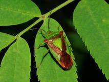 Haemorrhoidale exótico de Acanthosoma del insecto Fotografía de archivo libre de regalías