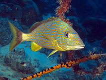 Haemulon sciurus, the Blue-striped grunt Stock Photo