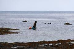 Haenyo diver harvesting shellfish, Jeju Island, South Korea. Haenyo diver woman harvesting shellfish and seaweed in Jeju Island, South Korea stock photography