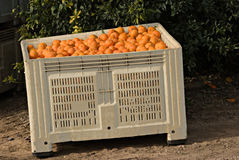 Haevested tangerines in crate Stock Photos