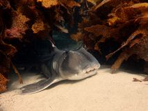 Hafen Jackson Shark Stockbild