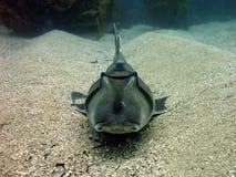 Hafen Jackson Shark Stockbilder