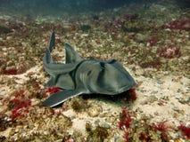 Hafen Jackson Shark Lizenzfreies Stockfoto
