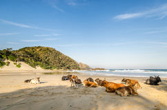 Hafen-St- Johnskühe auf dem Strand Wilde Küste, Ostkap, Südafrika Stockfotos