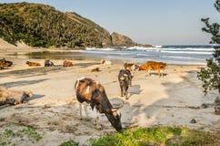 Hafen-St- Johnskühe auf dem Strand Wilde Küste, Ostkap, Südafrika Stockfotografie