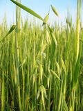 Hafer vor dem hintergrund des Weizens Lizenzfreie Stockbilder