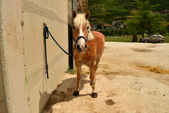 Haflinger pony Royalty Free Stock Image
