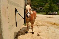 Haflinger pony Royalty Free Stock Image