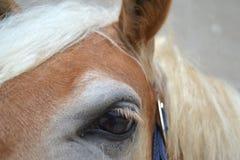 Haflinger眼睛 免版税库存照片