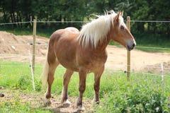 Haflinger马在草甸 库存照片