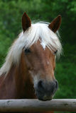 haflinger άλογο Στοκ Φωτογραφία
