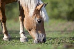 Haflinger ест траву Стоковая Фотография RF