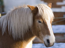 Haflinger Photo stock