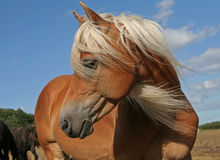 Haflinger Stockfotos
