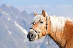 Haflinger Fotos de Stock Royalty Free