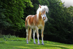 Haflinger royalty free stock photo