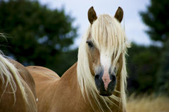 Haflinger Royalty Free Stock Photos