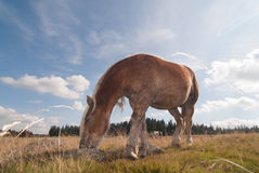 Haflinger brown horse grazing grass at meadow shot from below low perspective angle Stock Image