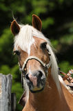 Haflinger curioso Fotos de Stock Royalty Free