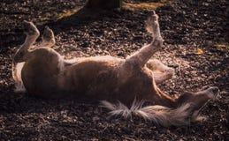 Haflinger die rond rollen Stock Fotografie