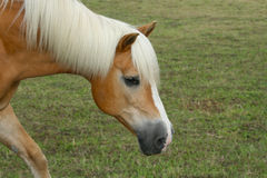 Haflinger gelding. On a meadow Royalty Free Stock Images