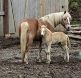 Haflinger häst Royaltyfri Fotografi