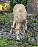 Haflinger häst Royaltyfria Foton