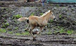 Haflinger häst Arkivfoto