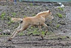 Haflinger häst Arkivbilder
