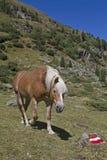 Haflinger häst arkivbild