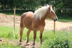 Haflinger häst i en äng Arkivfoton