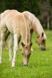 Haflinger häst med fölet arkivbilder
