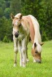Haflinger häst med fölet fotografering för bildbyråer