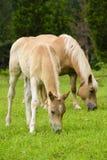 Haflinger häst med fölet royaltyfri foto